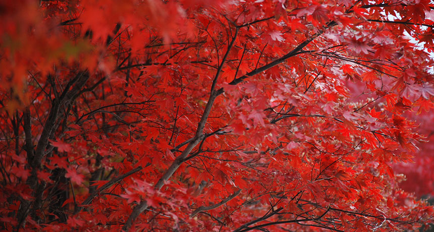 fall red leaves