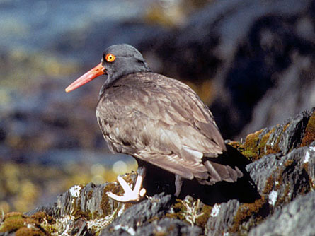 Black oystercatchers, which live in or near intertidal habitats, are highly vulnerable to oil pollution. Some were killed during the spill and their population is still recovering.