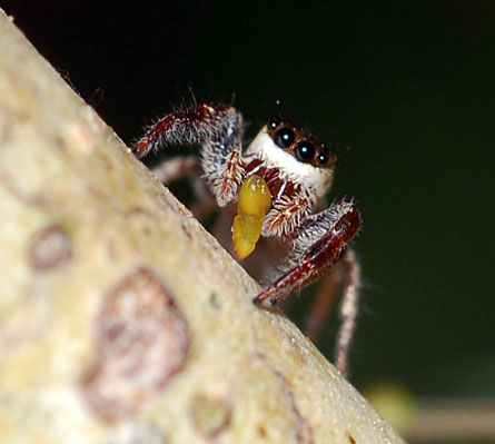 This spider is one in what may be the first-known population of vegetarian spiders. The herbivores live on acacia trees in Mexico and steal leafy snacks, such as the tree nubbin this spider holds, from their ant neighbors.