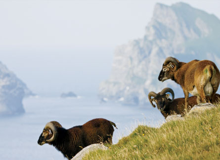 Breeding records for sheep on Hirta offer an unusual opportunity to study inheritance. Image Credit: Arpat Ozgul