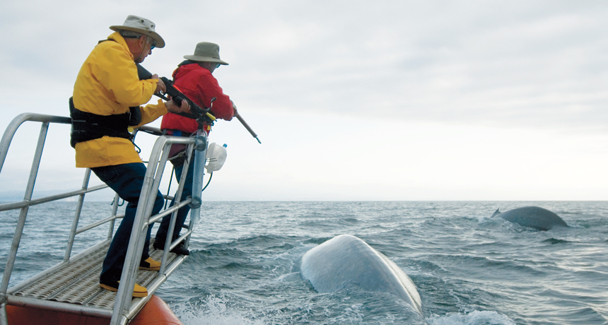 Researchers Bruce Mate (right) and Al Goudy prepare to tag a blue whale off Costa Rica.