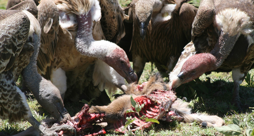 vultures in Serengeti