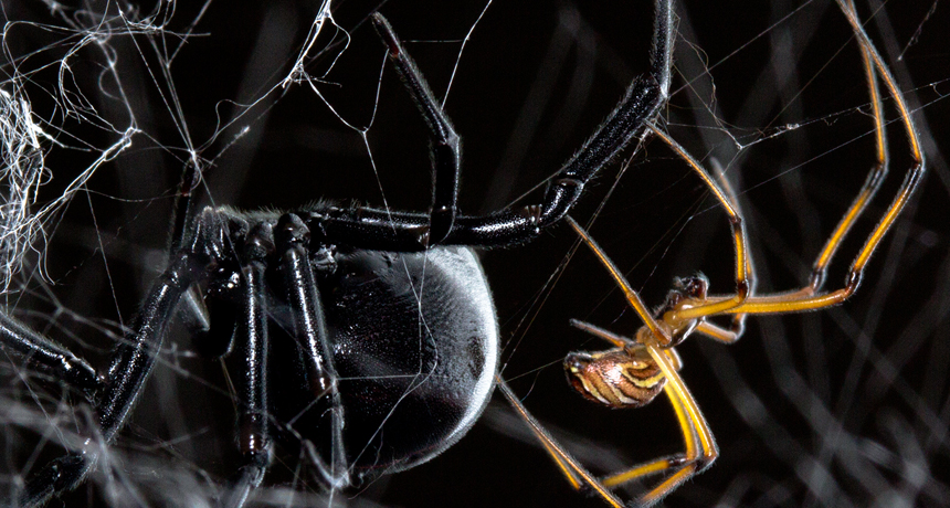 black widow spider female and male