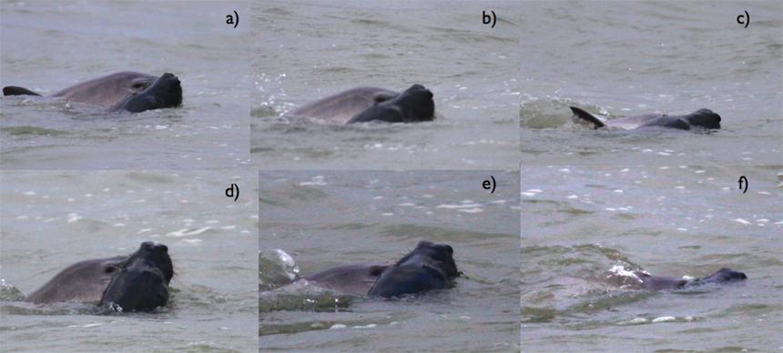 gray seal attacks harbor porpoise