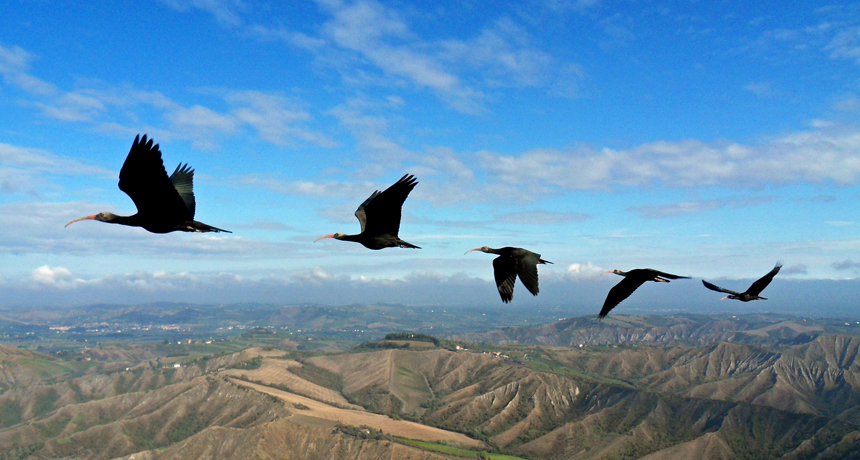 V-flying birds pick efficient flapping pattern   Science News