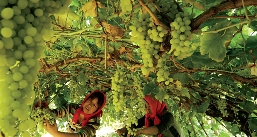 grapes in Xinjiang, China