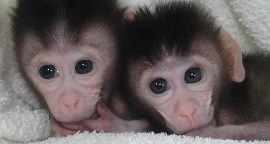 two cynomolgus monkeys
