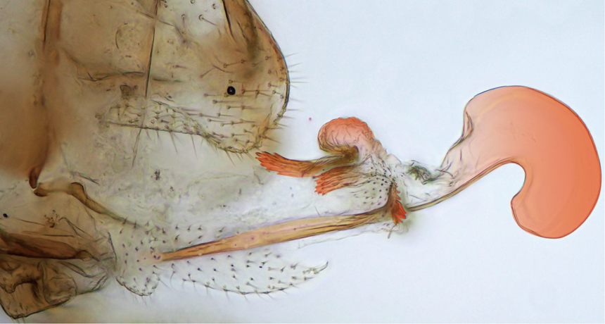 Neotrogla bark louse