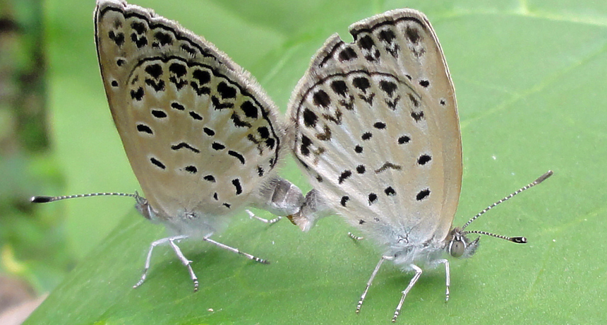 pale grass blue butterflies