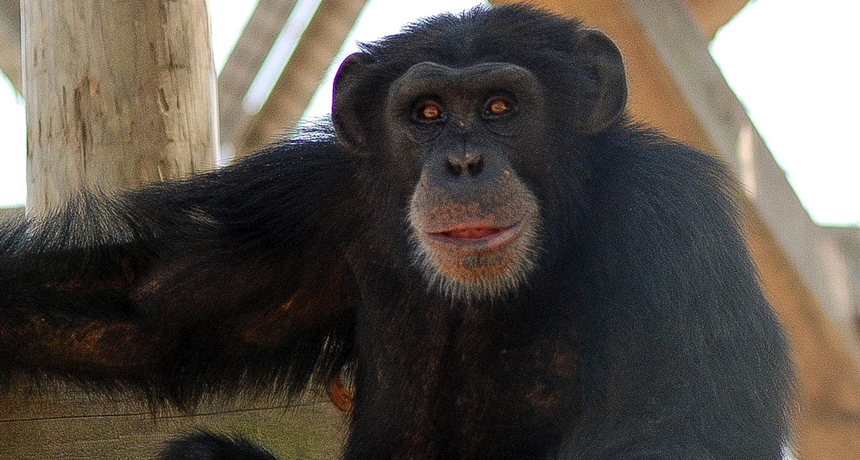 Captive chimpanzees given a vaccine that contains a viruslike particle rather than the live virus still developed antibodies against Ebola. This type of vaccination could be one way to save wild, endangered apes, the researchers suggest.