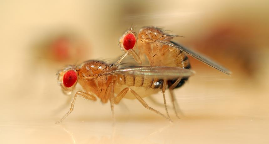 fruit flies copulating