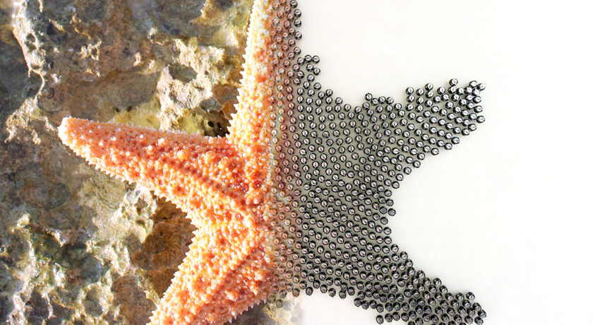 split image of starfish and robot swarm