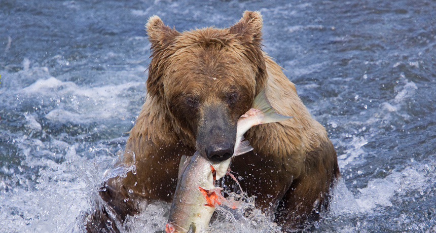 Grizzly Bears Master Healthy Obesity Science News