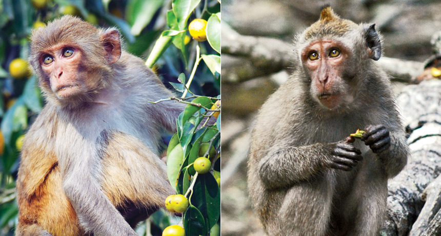 Rhesus macaques (left), cynomolgus macaques (right)