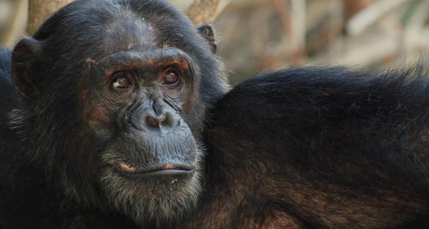 Chimpanzee male named Titan