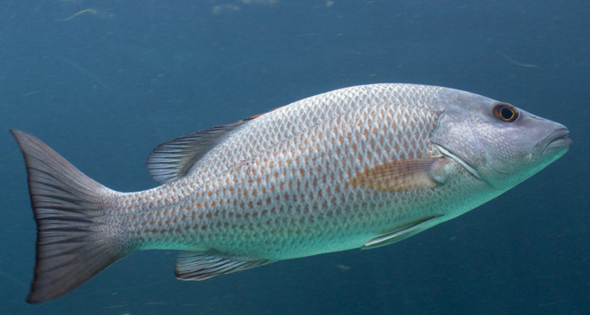 Adult gray snapper