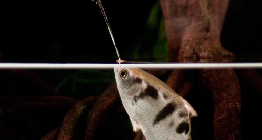archerfish spitting