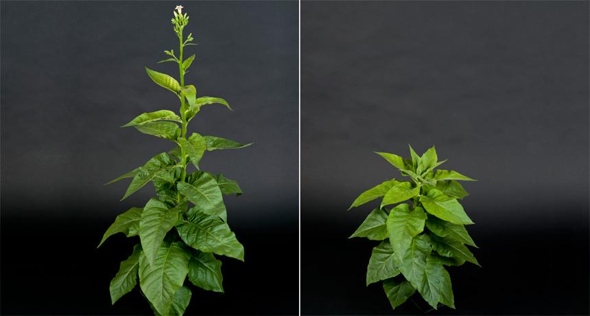 Two tobacco plants