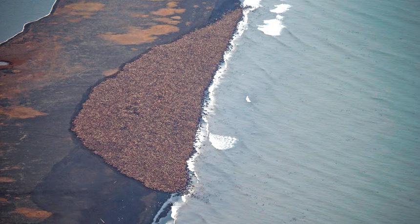 gigantic herd of walruses