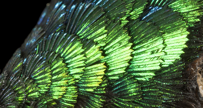 shimmering forehead of a long-tailed Sylph