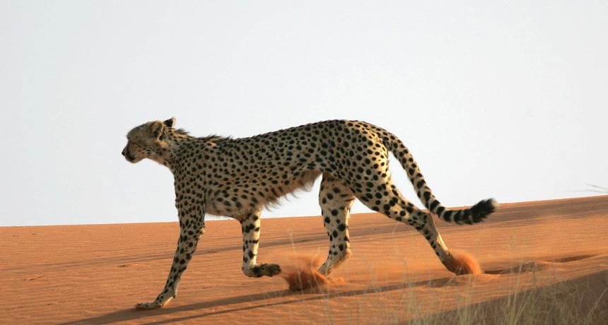 Cheetah trotting in sand