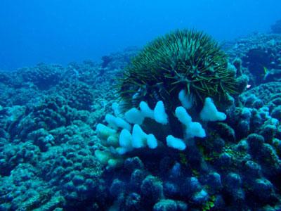 sea stars attacking coral