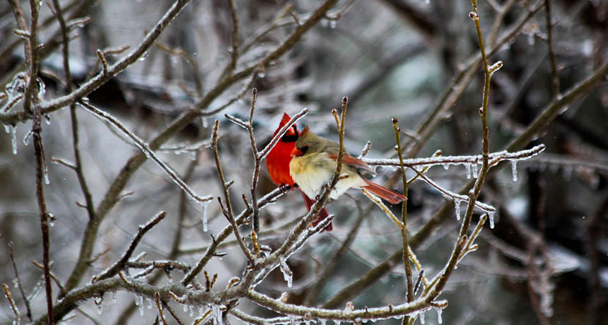 male and female cardinals in icy tree