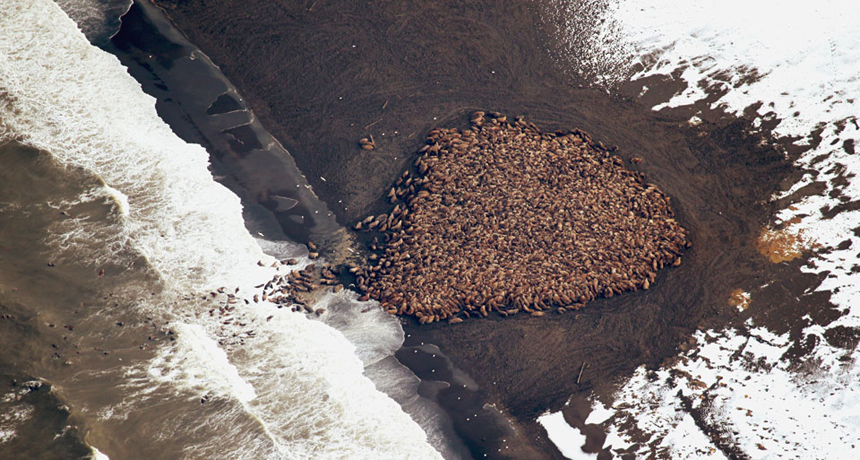 walrus group