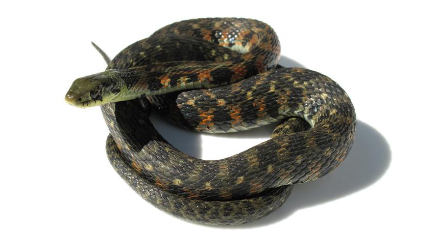 tiger keelback snake, Rhabdophis tigrinus