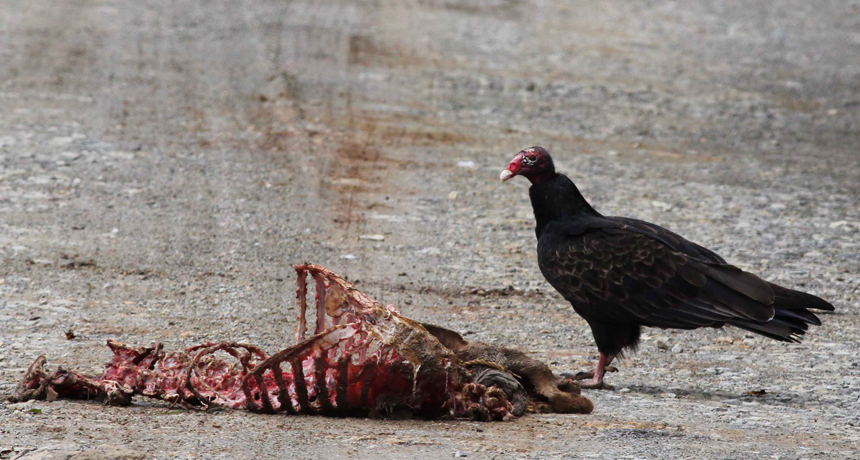 Vulture eating roadkill