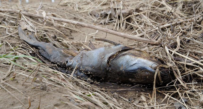 rotting fish