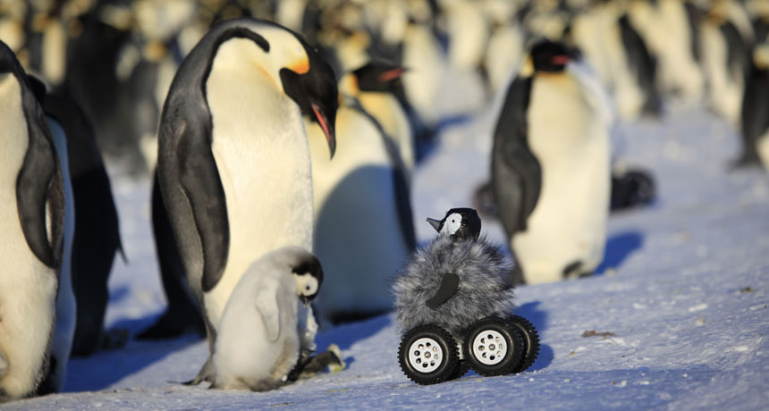 rover disguised as emperor penguin chick