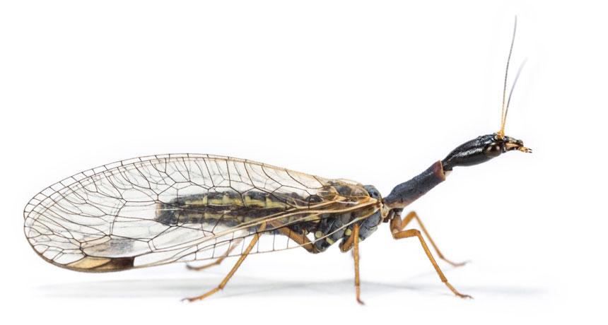 snakeflies