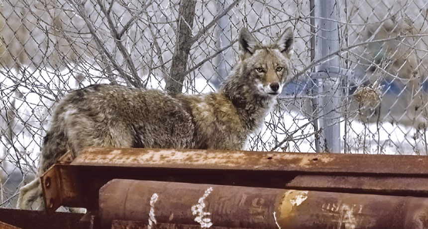 An urban coyote