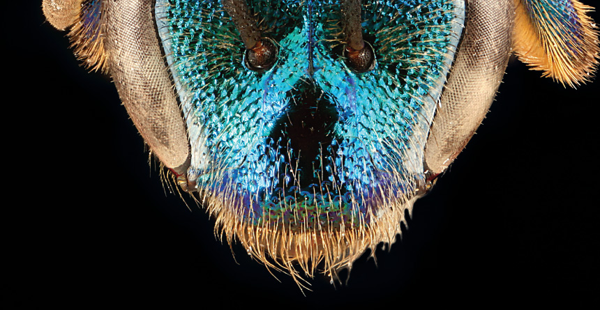 face of Augochloropsis anonyma