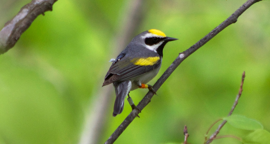 Tiny golden-wing warblers