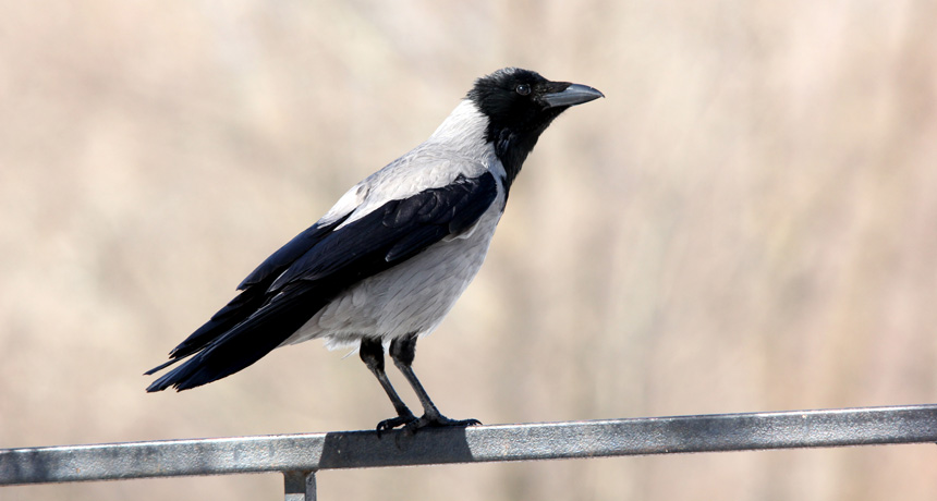 Hooded crows