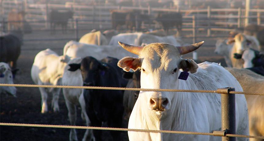 Dusty cows