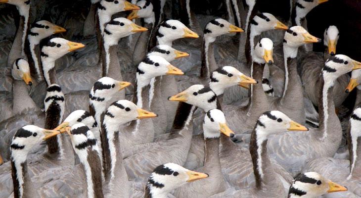 Lots of geese