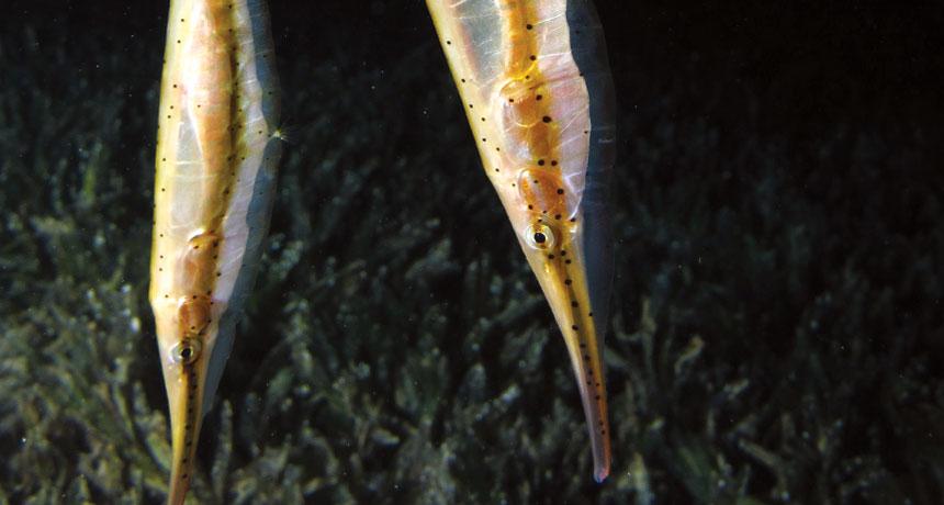 Shrimpfish