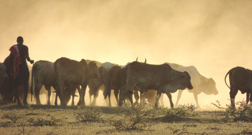 picture of Maasai herding cattle