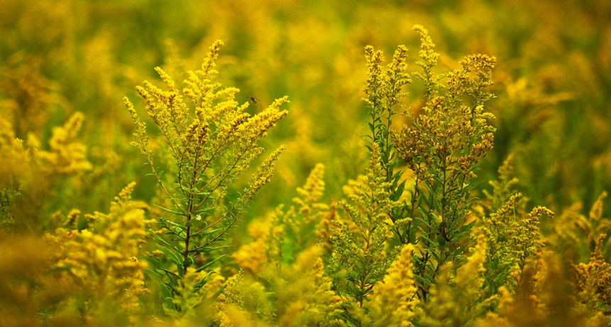 Goldenrod in a field