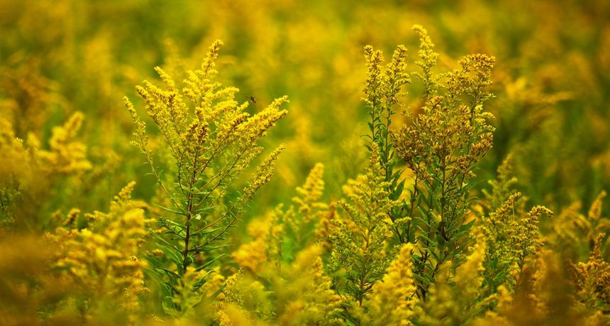 Goldenrod in a field