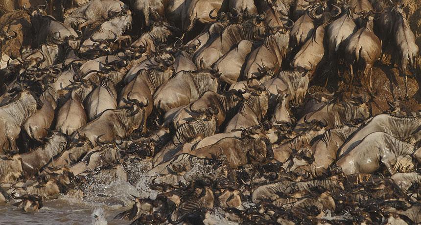 herd of wildebeest crossing a river