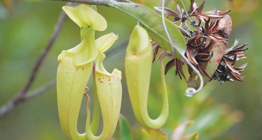Three pitcher plant traps
