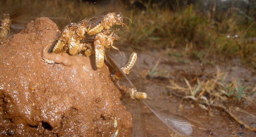termites on mound