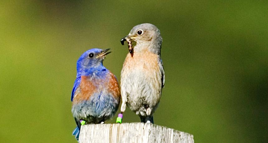 Male bluebird feeds female