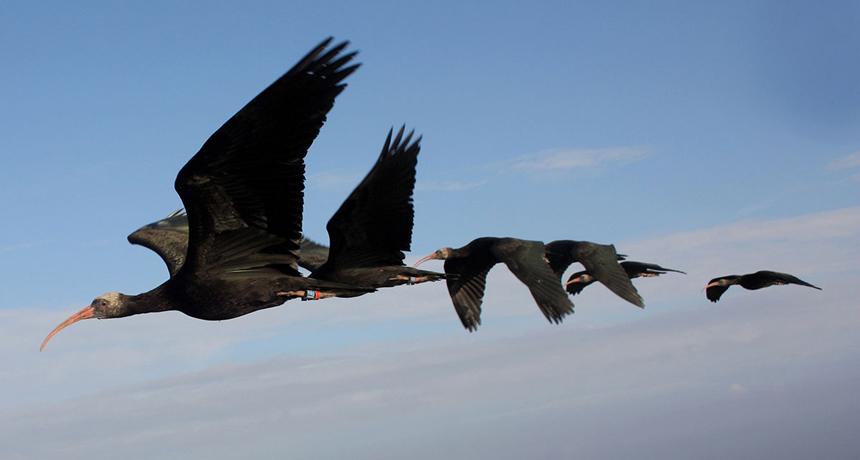 Norther bald ibises flying