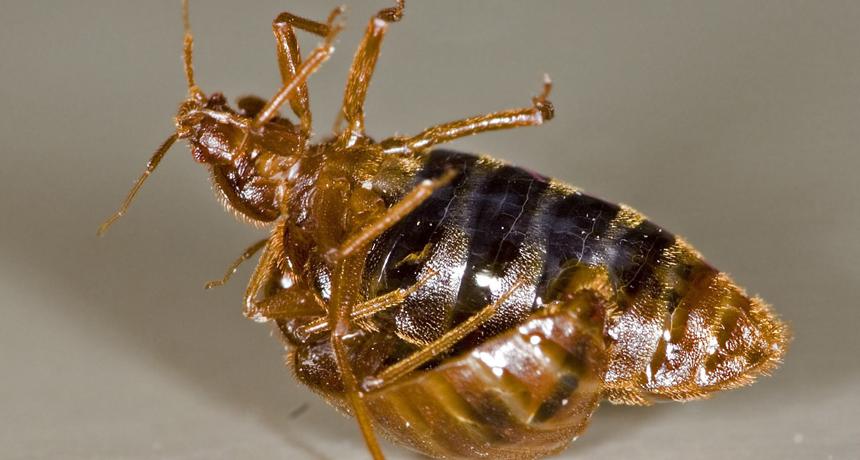 Bed bug sex