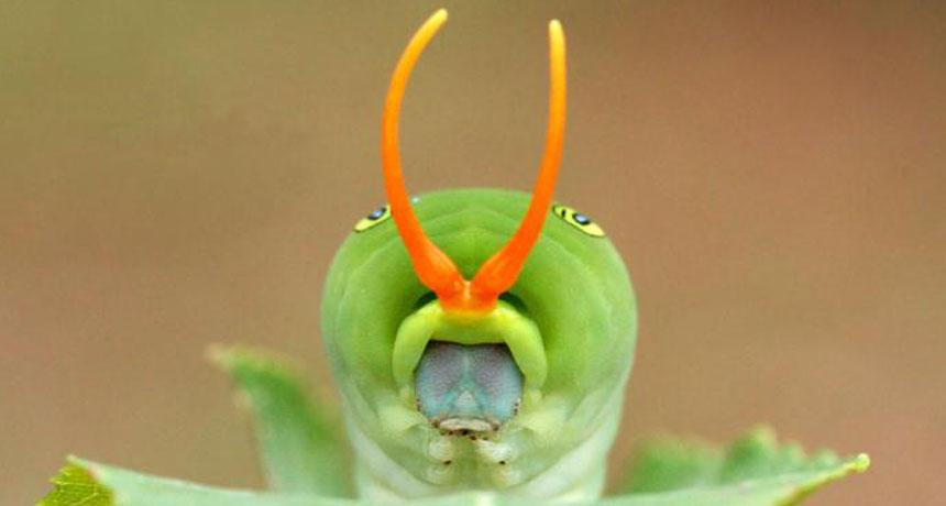 Eastern tiger swallowtail (Papilio glaucus) caterpillar